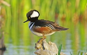 Hooded Merganser Images