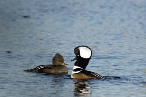 Hooded Merganser Male and Female