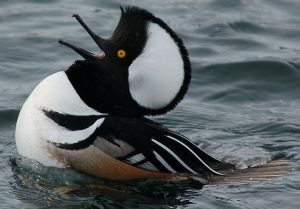 Hooded Merganser Pictures