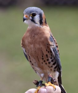 American Kestrel Bird