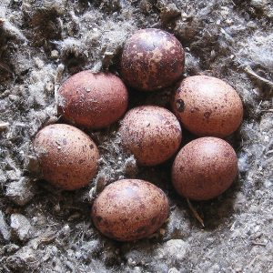 American Kestrel Eggs