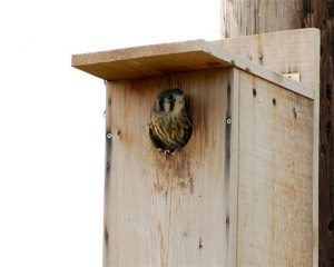 American Kestrel Nest Box