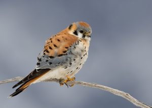 American Kestrel Photos