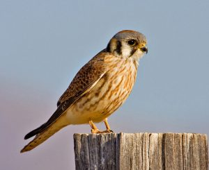 Juvenile American Kestrel Photos
