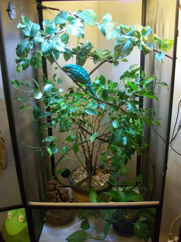 Panther Chameleon Facts, Habitat, Diet, Life Cycle, Baby ...