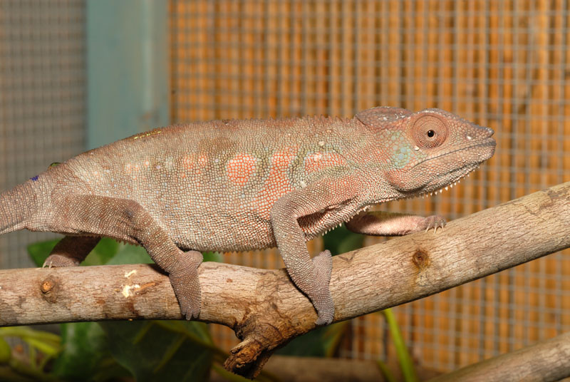 Baby Panther Chameleon Food