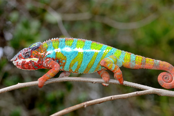 Panther Chameleon Facts Habitat Diet Life Cycle Baby