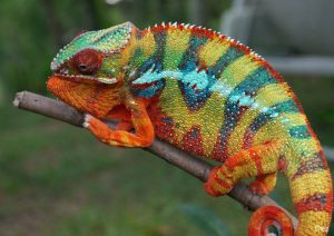 Panther Chameleon Pictures