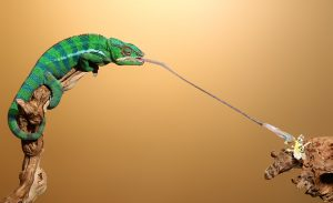 Panther Chameleon Tongue