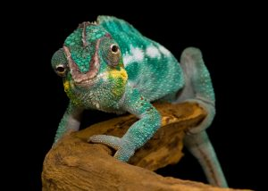 Panther Chameleon Wallpaper