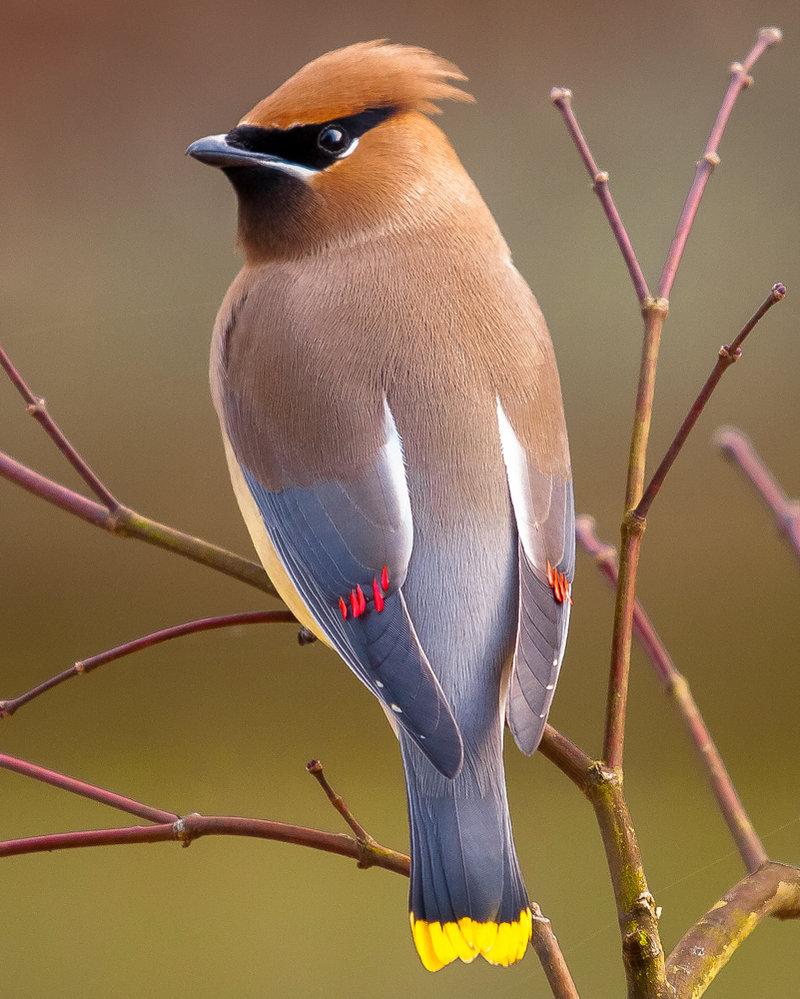Backyard Cedar Waxwing Birds - Blog Homesteader Fiel - Revista GRIT