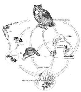 Eastern Screech Owl Food Chain