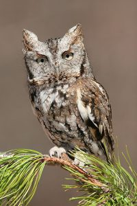 Eastern Screech Owl Images