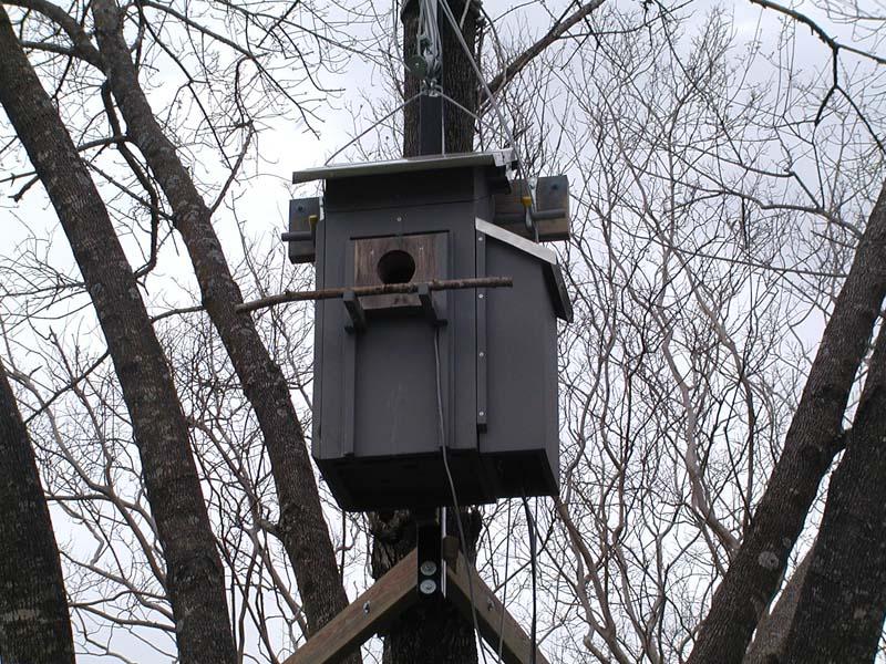 Eastern Screech Owl on Kestrel Bird House Plans