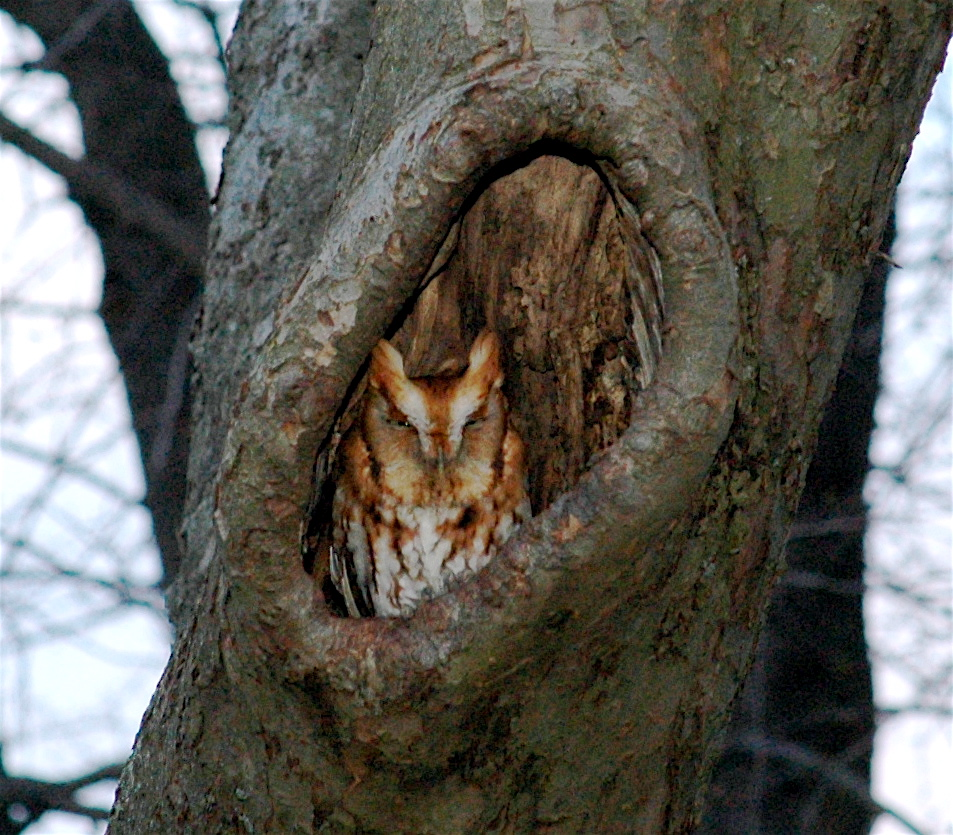 Eastern Screech Owl Facts, Habitat, Diet, Life Cycle, Baby