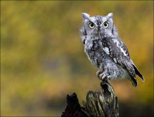 Eastern Screech Owl Photos