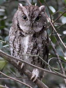 Eastern Screech Owl Pictures