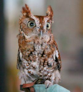 Eastern Screech Owl Size