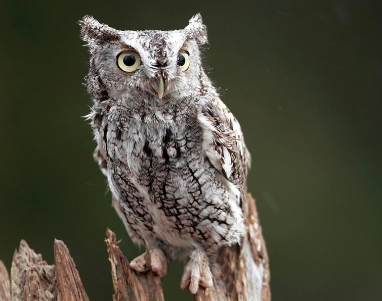 Eastern Screech Owl Fa...
