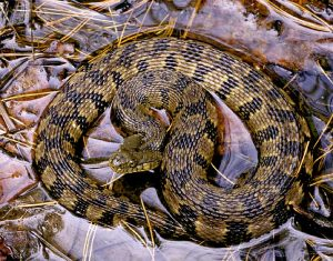 Diamondback Water Snake Images
