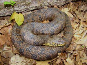 Diamondback Water Snake Photos