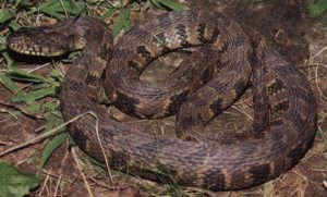 Diamondback Water Snake Pictures