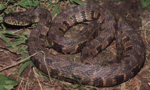 Diamondback Water Snake Pictures