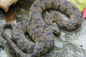 Diamondback Water Snakes