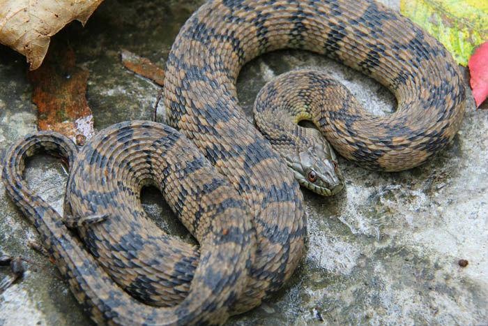 Diamondback Water Snake
