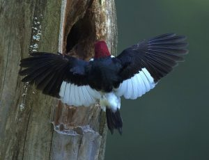 Red Head Woodpecker Wings