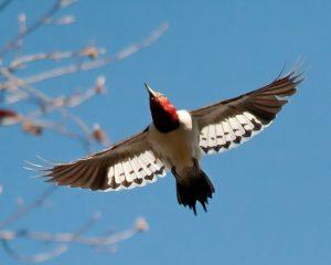 Red Headed Woodpecker Flying