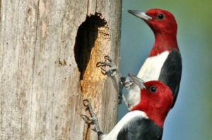 Red Headed Woodpecker Nest