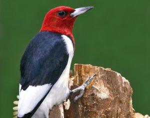 Red Headed Woodpecker Photos