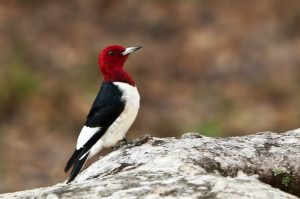 Woodpecker Red Head