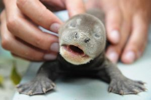 Baby Giant Otter