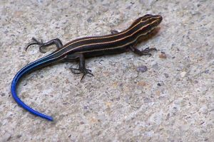 Blue Tail Skink