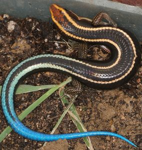 Blue Tailed Skinks