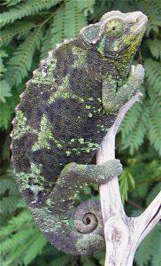 Female Jackson Chameleon