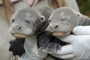 Giant Otter Babies