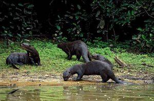 Giant Otter Habitat