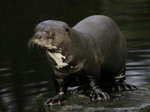 Giant Otter Photos