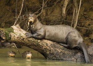 Giant Otter Size