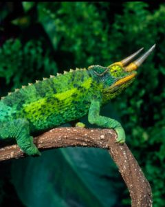 Jackson Chameleon Colors