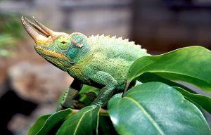 Jackson Chameleon Pictures