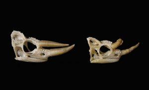 Jackson Chameleon Skull