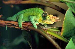 Jacksons Chameleon Images