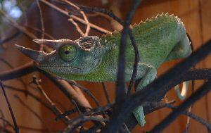Jacksons Chameleon Pictures