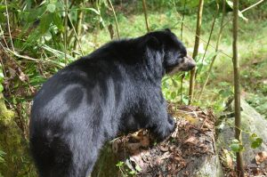 Spectacled Bear Habitat