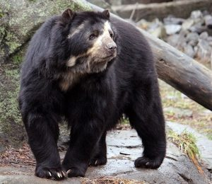 Spectacled Bear Images