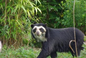 Spectacled Bear in the Wild